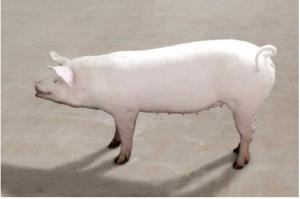 优秀本土猪种展示;高产、高效、优质肉用型猪-江泉白猪!