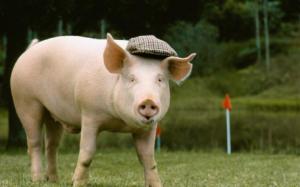 养殖户必备!预防猪水肿的黄金知识!