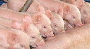 规模猪场断奶仔猪分群饲养及治疗型药物的选择