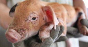 新生小猪耳朵发白拉稀怎么办?老猪农一招教你从根源上解决问题!