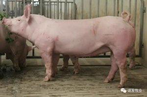 后备母猪饲养管理:一个目标、两个要求、三个条件!