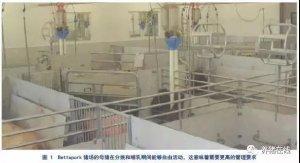 【繁育】母猪自由散养:猪舍、管理、繁殖结合