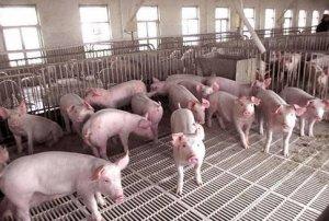保育猪这样养,不仅日长一斤,还能不发病