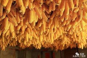 玉米价格连连涨,疯狂之后还需谨慎,玉米价格上涨势头猛烈!