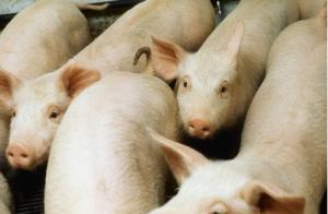 育肥猪食欲减退如何解决?