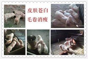 保育猪不好养,死淘率