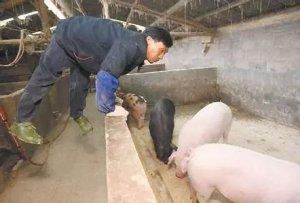 2018年养猪必须要有这八个证件,否则一律