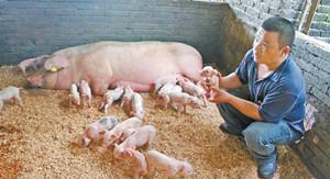 没有B超机怎么确定母猪已怀孕!甚至知道产多少?