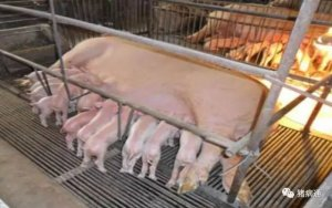 提高母猪初乳产量的关键因素是什么?