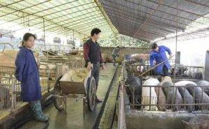 养猪人自配猪饲料,猪日长三斤,提早出栏不是梦!