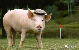 猪场正确的免疫程序和原理你知道吗?