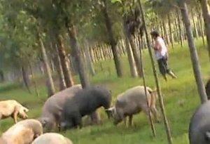 不脏不臭,这家养猪场是怎么做到的