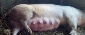 不要钱的母猪催奶验方,白送啦!