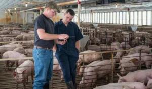 国外和国内养猪户,都是怎样催肥的