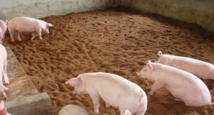 训练猪定点大小便有妙招!训练要点大公开