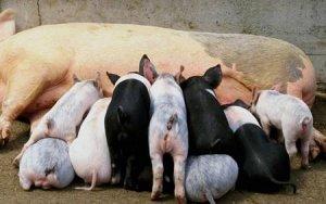 母猪产后流脓,这个关