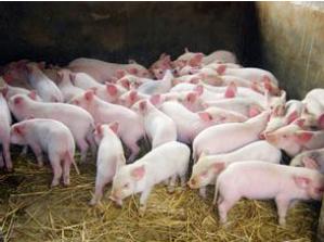 老刘养猪培训 环境――降低湿度的几项措施