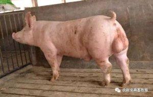 """想有一坡好仔猪吗? """"望温闻稳问""""帮你选好猪精"""