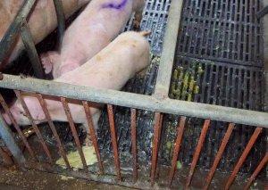 5种防治仔猪腹泻的饲喂策略