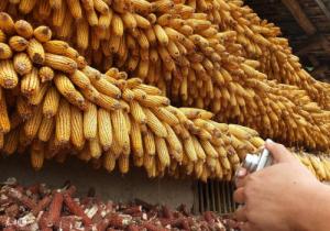 进入2018年玉米价格或将继续震荡上行