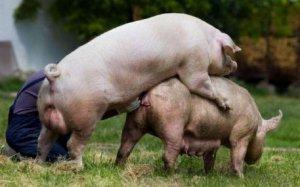 养母猪人知道这些,高产多产不是梦!
