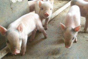 鄂州市2017年下半年生猪成本收益情况分析