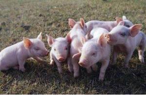 猪生长发育饲养管理过程