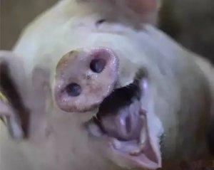 公猪过度采精被掏空,
