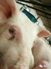 猪连续不断的打喷嚏千万不要忽视,有可能是它在作怪