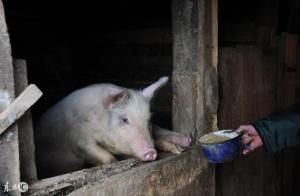给猪喂稀料,怪不得你的猪长得慢!