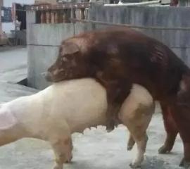 母猪黄金配种方案,拿走不谢!!!