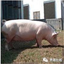 这一吓竟然把猪吓死了,什么情况?