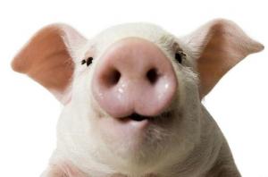 如何防治猪传染性胸膜肺炎?与猪肺疫和猪