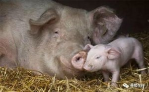 目前母猪普遍存在的问题和常见症状