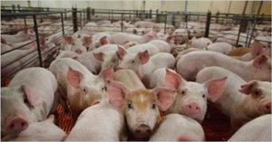 需求增长放缓,猪价高位震荡调整