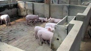 仔猪断奶后第1周应该吃多少呢?