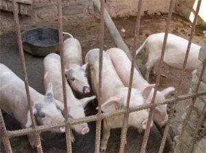 家庭养猪的致命弱点,养猪人看完再反思吧!
