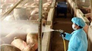 猪场这两个地方消毒不到位,会疾病不断!