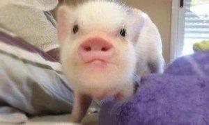 母猪不发情怎办?教您几招轻松刺激母猪发情