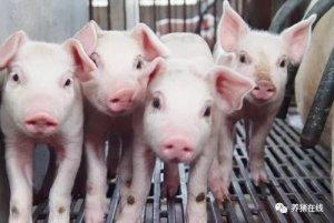 什么时候给猪换料、用药最好?