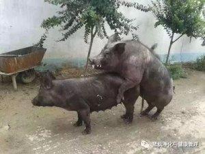 现在的猪为什么越来越难养?原来是因为......