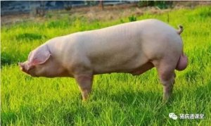 后备公猪是猪场核心,应该这样来挑选!