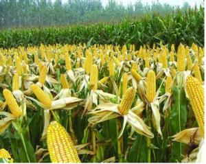 优质玉米价格涨至9毛/斤,降雪恐将再促玉