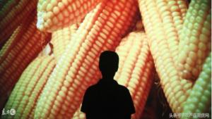 今年玉米提前拍卖释放出什么信号?