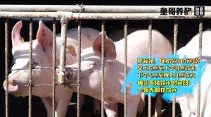 奎哥养猪丨一个小工具竟能大大提高工作效率,让猪群饮水加药不再愁!