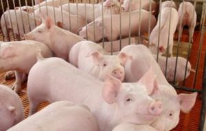 忠县50万头生猪产业一体化项目开工