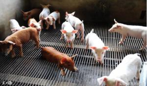 猪场的精细化管理,专家都是这样做的