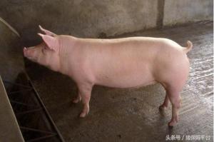给猪换料,必须要懂这几个知识点