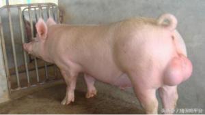 养猪人四十年总结出来的经验――如何提高母猪繁殖性能