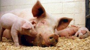 母猪分娩时该不该使用缩宫素?